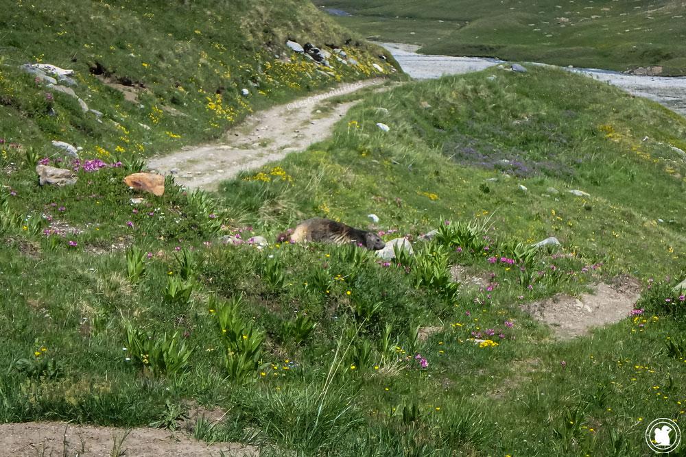 TMB - Marmotte - Alpe sup de la Lée-Blanche