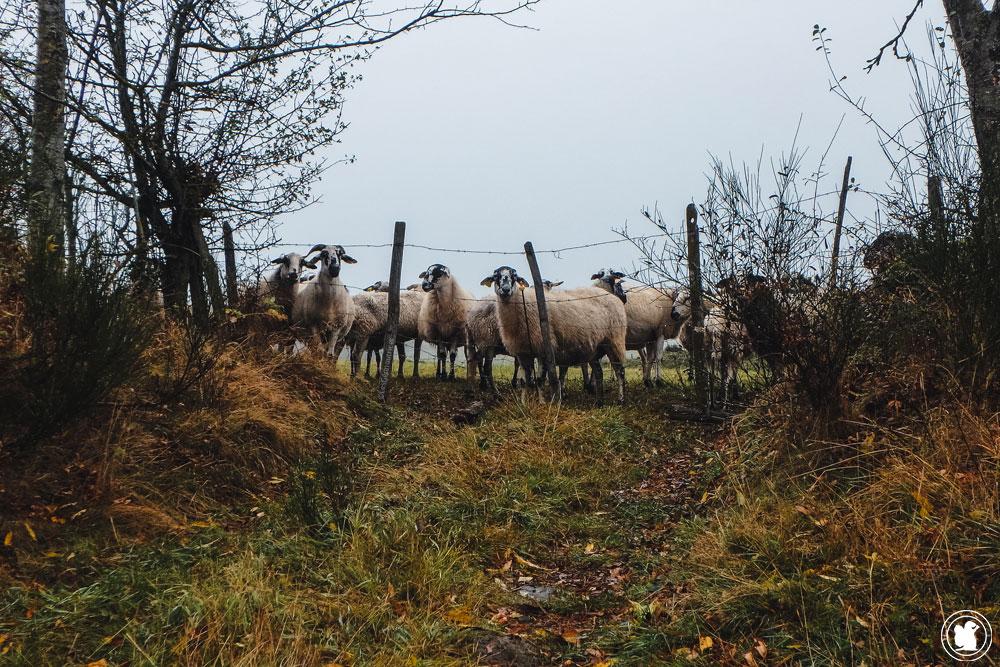 La boucle des dômes, moutons curieux