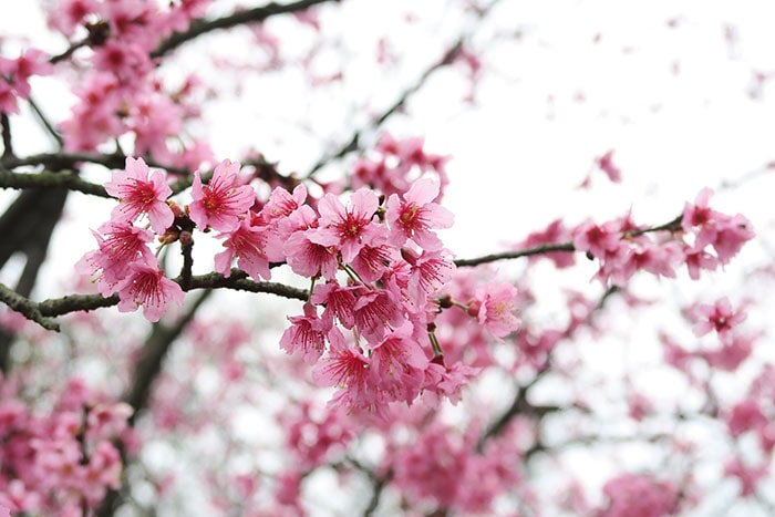 Admirer la beauté des cerisiers en fleurs au Japon