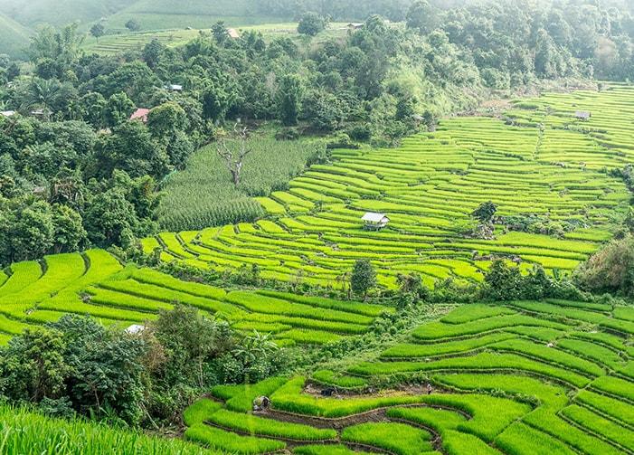 Rizière de Thaïlande