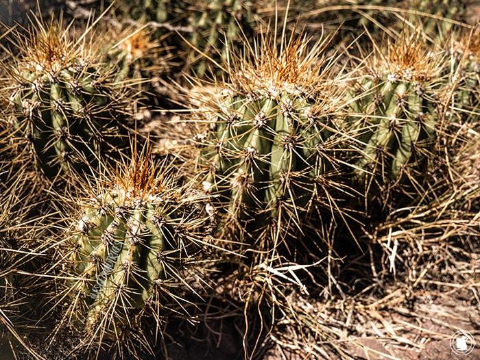 Cactus Los Reyunos - San Rafael