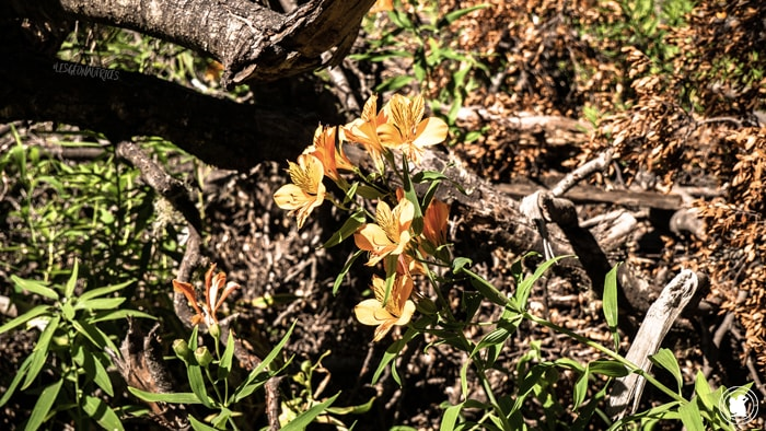 Fleurs sur le sentiers de la randonnée Cajon del Azul