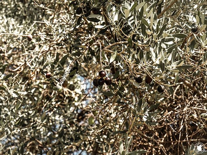 Olives noires Yancanelo