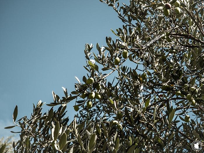 Olives vertes Yancanelo