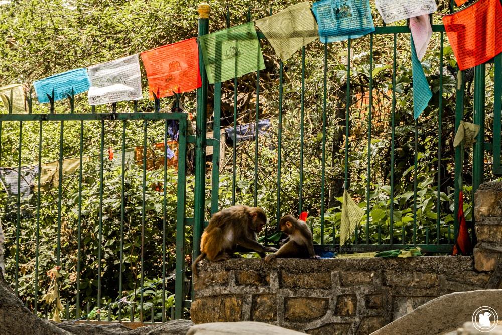 Singe du temple Swayambunath