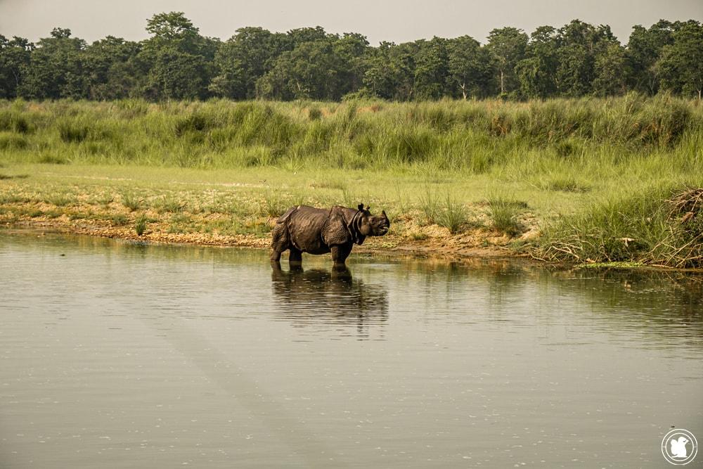 Rhinocéros dans le parc national Chitwan