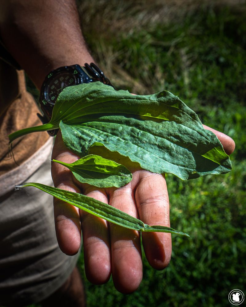 Stage de survie - plantains, plantes sauvages comestibles