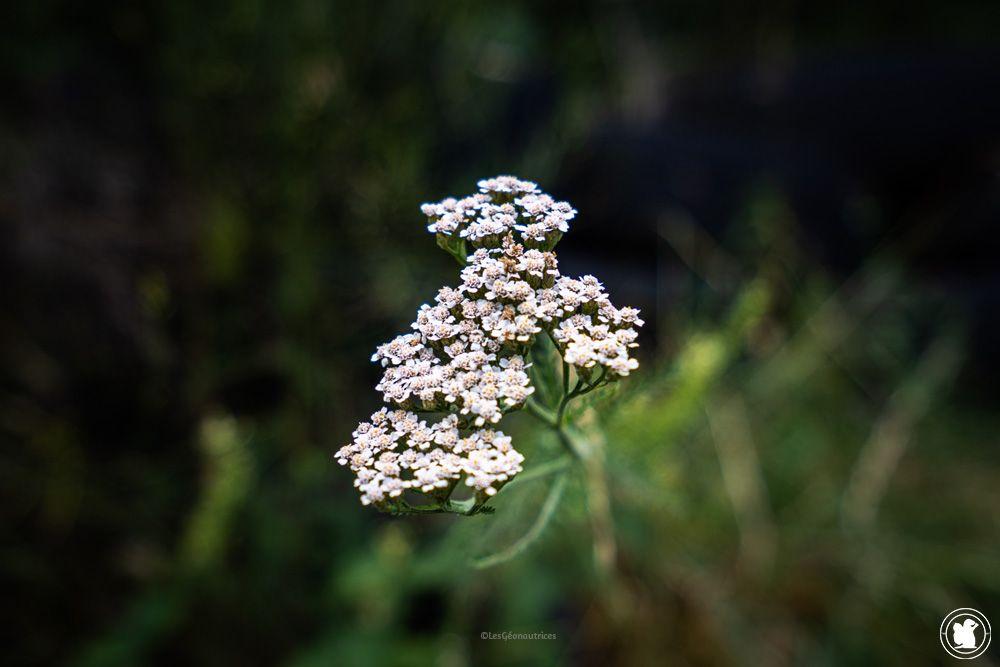 Stage de survie - Aquillée millefeuille, plantes sauvages comestibles