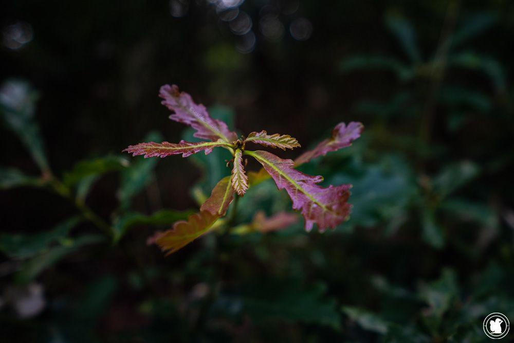 Stage de survie - chêne, plantes sauvages comestibles