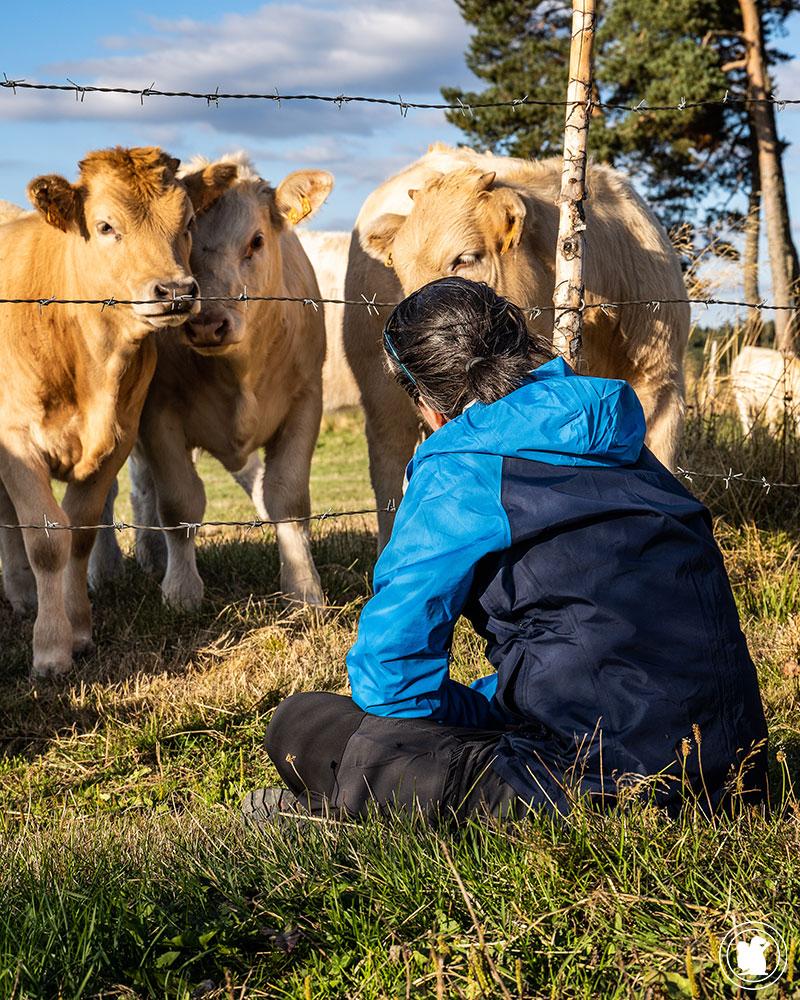 Rencontre avec les vaches d'Aubrac sur le Chemin de Saint-Guilhem